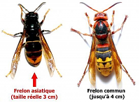 frelon asiatique vs frelon commun